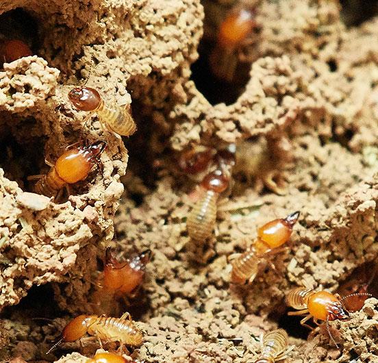termites-square