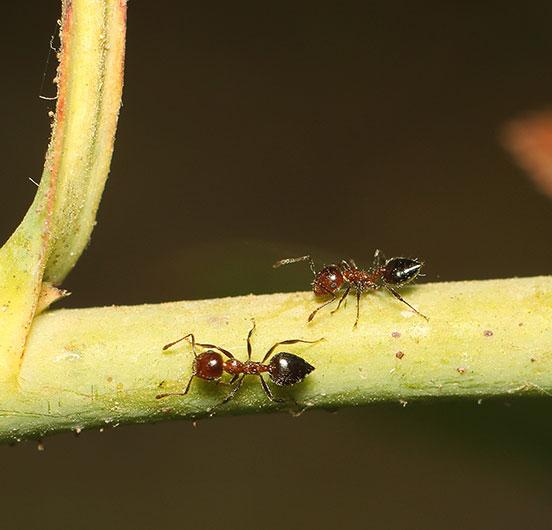 ant branch