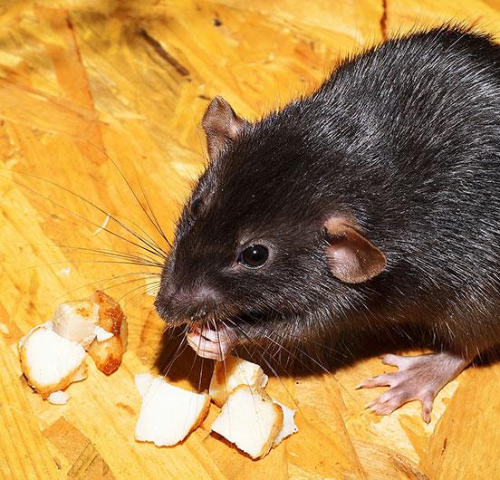 rat square