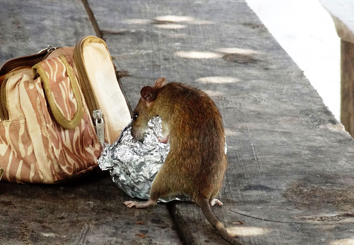 rat rubbish