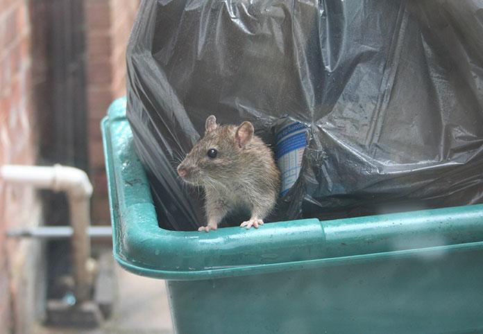 rat trash